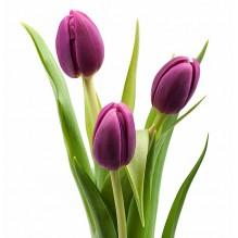 Тюльпан ( цвет в ассортименте)